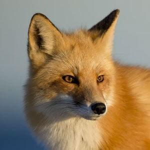 Travelling Fox UK